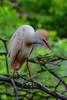 Cattle Egret (0538