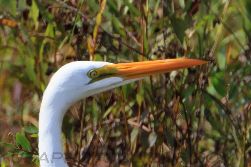 Great Egret (b0544)