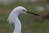 Snowy Egret (b0561)