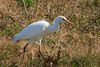Cattle Egret (b0532)