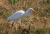 Cattle Egret (b0532)