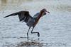 Redish Egret (b0554)