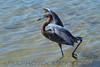 Reddish Egret (b0551)