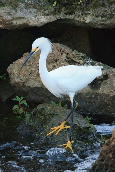 Snowy Egret (b0563)