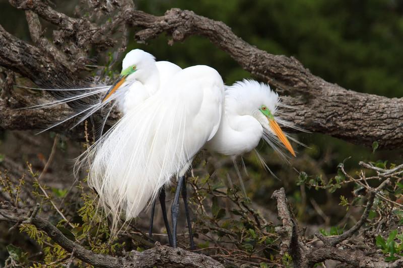 Great Egret (b0546)