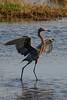 Redish Egret (b0552)
