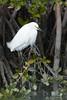 Snowy Egret (b0564)