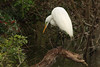 Great Egret (b0549)