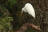 Great Egret (b0549)