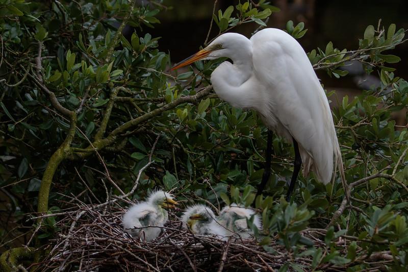 Great Egret (b0540)