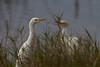 Cattle Egret (b0533)