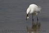 Snowy Egret (b0562)