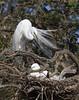 Great Egret (b0545)