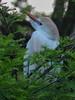 Cattle Egret (0535