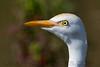 Cattle Egret (b0531)