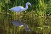 Great Egret (b0543)
