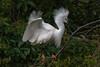 Snowy Egret (b0565)