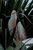 Cattle Egret (0534