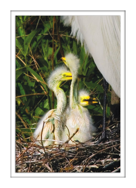 egret chicks<br /> 4/29/2006