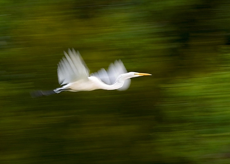 Great White Egret In Motion<br /> <br /> <br /> Handheld, ISO lowered to get slow shutter speed.  The purpose being to get a shot that showed motion.  I think I did it, smile.  Kind of surprised myself.<br /> <br /> I replaced the other one with this same photo, cropped a bit more w a horizontal rotation.  Now I like the composition, unless someone thinkgs the bird should be higher or lower.<br /> <br /> Worked up in PS gently, so as not to lose the inherent goodness of the original.  The only problem was that the wings wanted to be blue, bright blue.  I figured that out, and I was done.