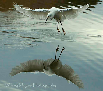 Snowy Egret with Full Frontal Reflection