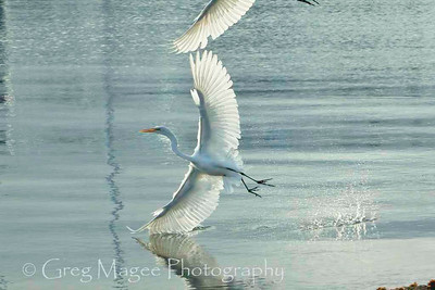 Two Egrets with One Wing Reflection
