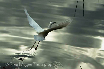 Snowy Egret Over Mirrored Pond