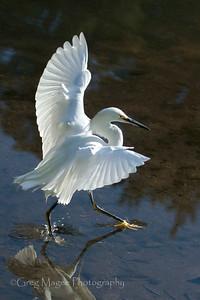 Snowy egret balancing dance