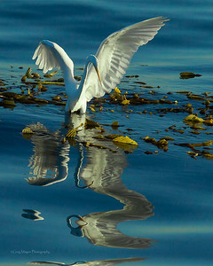 Great egret and reflection