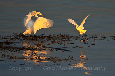"Shadow on the wing  I was very fortunate to have excellent light and a nearly flat bay when these two egrets flew to the kelp bed nearby and ""danced"" for approximately thirty seconds.  The shadow on the great egret's wing indicates the low angle of the sun."