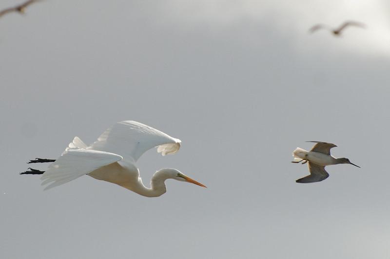Grt Egret & Less Yellowlegs