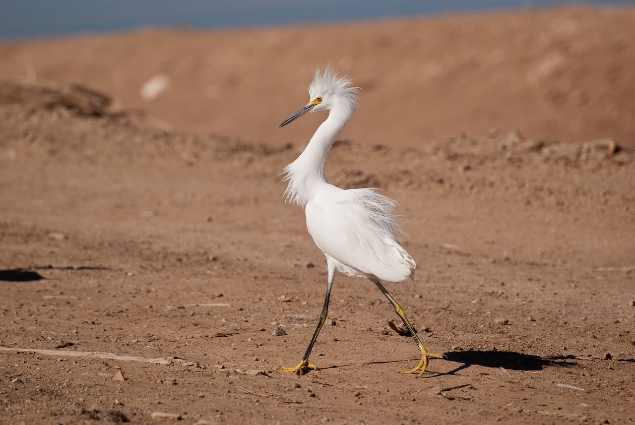 Snowy Egret struts his stuff