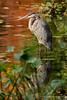 Great Blue Heron, Mount Auburn Cemetery.