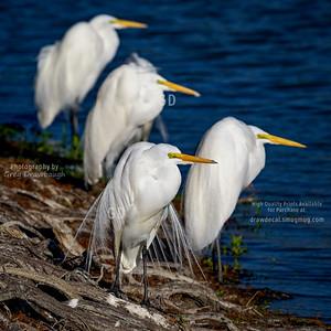 Quartet of Great Egrets