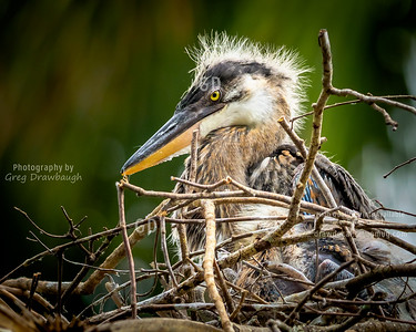 Great Blue Egret Chick