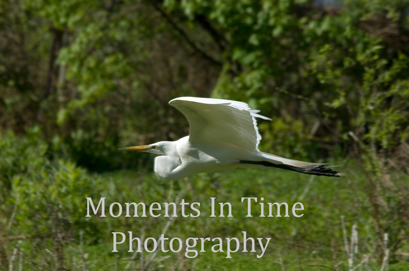 Egret full flight