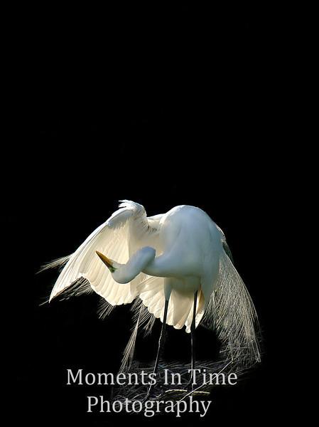 Egret grooming sunlit in nest