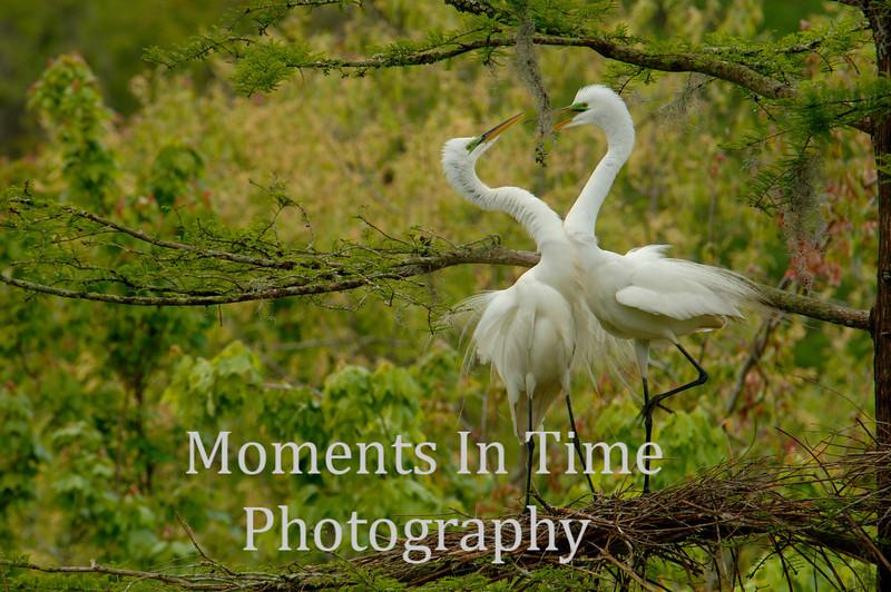 Egret great