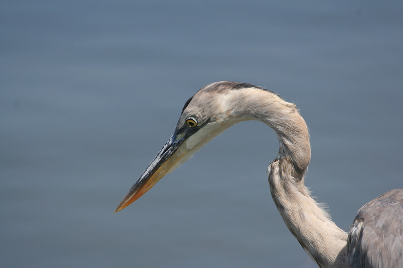 Great Blue Heron looks in the water