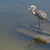 Great Blue Heron with reflection in the water