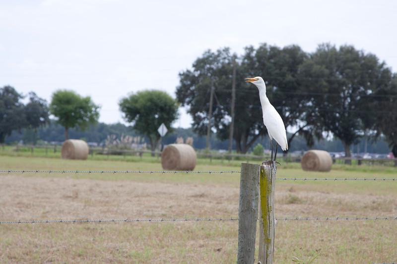 Cattle Egret SS94891