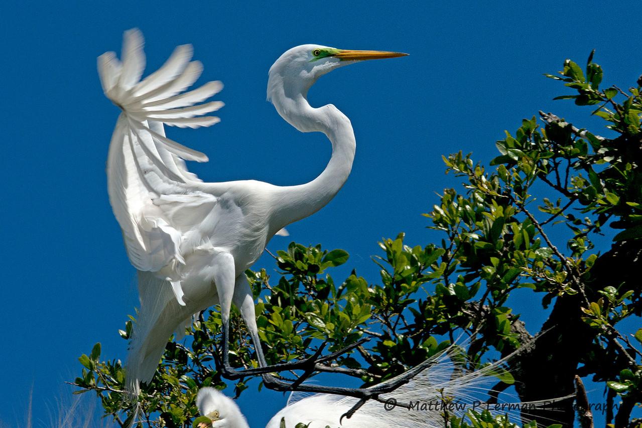 Great Egret   #918