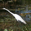 Great White Egret stretches to watch for a fish