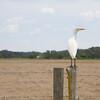 Cattle Egret SS94893