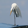 Great White Egret scratching head on top of boat