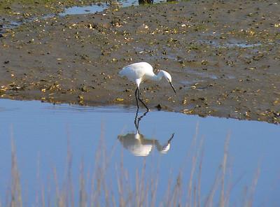 Snowy Egret stalking prey.