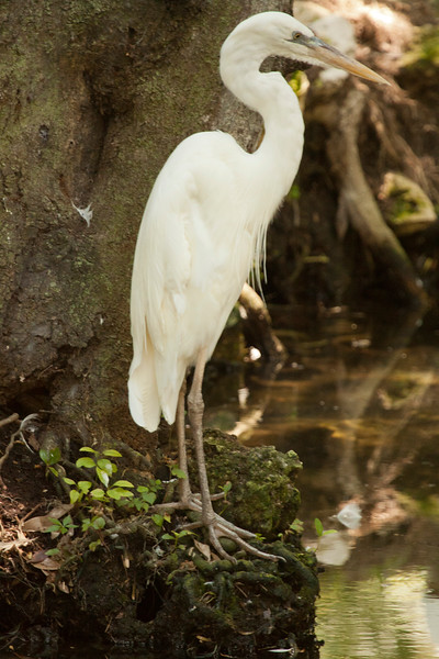 Great White Egret waits