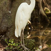 Great White Egret waits