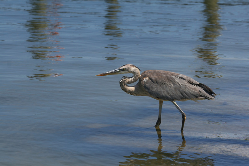 Great Blue Heron wading in saltwater