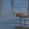 Great Blue Heron wading in saltwater